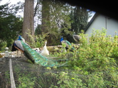 Peafowl eyeing the redcurrants