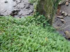 Wild garlic by tree and burn